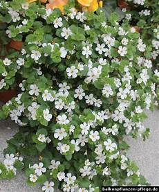 elpflanzen und hängepflanzen garten sutera cordata schneeflockenblume blumen stauden