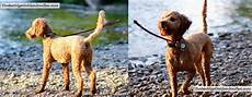 goldendoodle haircuts goldendoodle grooming timberidge goldendoodle haircut pictures timberidge goldendoodles in 2020 goldendoodle haircuts