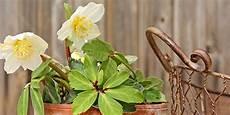 Christrosen Pflegen Vermehren D 252 Ngen Teilen Pflanzen
