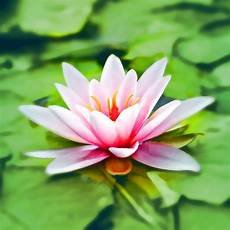 All Secrets Meaning Of The Lotus Flower Aromantly