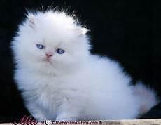 regalo gattini persiani cerco gatto persiano piccolo in regalo petpassion