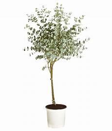 eukalyptus winterhart kaufen eukalyptus pflanze kaufen queence leinwand eukalyptus
