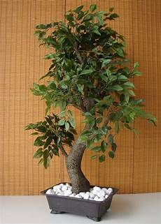 bonsai ficus benjamini k 252 nstlicher bonsai ficus benjamini birkenfeige 85cm