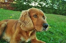 cocker spaniel anglais races de chiens eaton