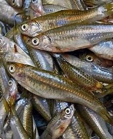 Budidaya Ikan Wader Infoakuakultur