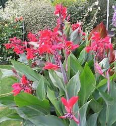 pflanze mit roter blüte carsten hauschild garten canna indica