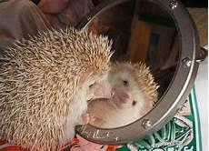 Ausmalbild Igel Mit Spiegel 42 Besten Hedgehogs Are Pretty Awesome Bilder Auf