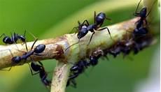 Kumpulan Cara Membasmi Semut Hitam Di Pohon Mangga Fumida