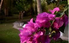 flor tipica del estado falcon fotos y paisajes de venezuela flores en sucre
