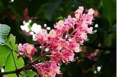 fiori di bach menopausa chestnut fiori di bach in menopausa menopausa