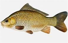 Cara Membedakan Ikan Jantan Dan Betina Yang Matang Gonad