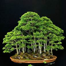 Beautiful Juniper Bonsai Tree Juniperus