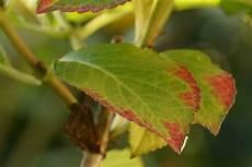 hortensien blätter werden braun hortensie bekommt braune bl 228 tter welke blattspitzen was tun