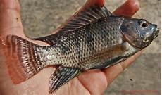 Klasifikasi Morfologi Ikan Nila Dan Asal Muasalnya