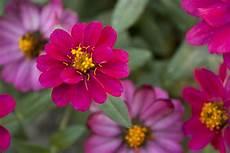 Zinnien Samen Aussaat Zum Pflanzen Anbauen Kaufen