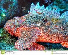 Skorpion Fische Lizenzfreie Stockbilder Bild 4598989