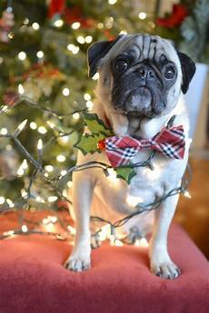 merry christmas cute pugs cute baby animals pugs