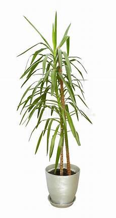 grande plante d int 233 rieur arbre grand dans un pot image