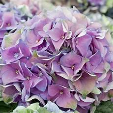 hortensien umpflanzen september farben hortensien saisonale blumen blumen