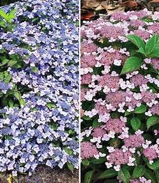 Pflanzen Günstig - zwerg hortensien kollektion 2 pflanzen g 252 nstig