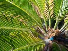 how to save your sago palm