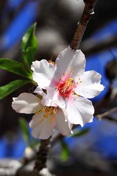 fiori mandorlo fiori bianchi fiore mandorlo immagine stock