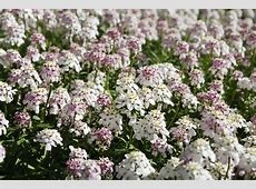 15 Best Evergreen Ground Cover Plants