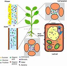 illustration of nutrient niches in plants accessed by bacterial download scientific diagram