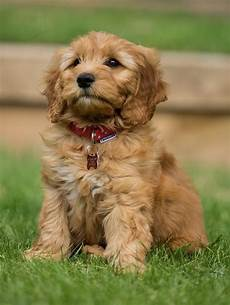 images puppy cut for a goldendoodle special benefits of training a goldendoodle puppy
