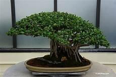 schneiden winter bonsai schneiden mit 6 schnitten zur asiatischen gartenkunst