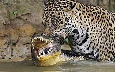 jaguar information for some facts about jaguar animal ironpanther