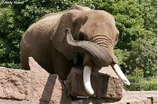 Malvorlage Afrikanischer Elefant Afrikanischer Elefant Tier Fotos Eu