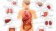 Gambar Bagian Organ Tubuh Manusia Dan Fungsinya Berbagai