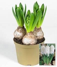 hyazinthe tipps zur pflege pflanzung hyazinthen
