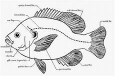 Catatan Si Benjuud Ekobiologi Ikan Baronang