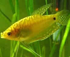 Ikan Sepat Hias Kuning Awalnya Dari Sepat Ini Ikan Hias