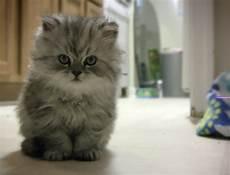 gatti persiani pengetahuan tips memelihara kucing bagi pemula