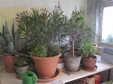 Oleander Draussen überwintern - 220 berwinterung in haus und wintergarten mein garten ratgeber