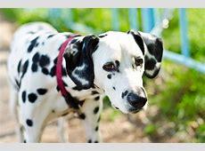 Raças de Cachorros   Letra D   Tudo Sobre Cachorros