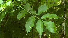 Holunder Sambucus Im Pflanzenlexikon Gt Gt Gartennatur