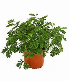 mimose pflanze kaufen mimose sinnpflanze dehner