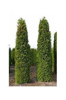 thuja brabant pflanzen thuja lebensbaum kaufen sie g 252 nstig direkt ab baumschule