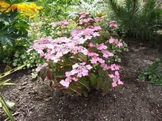 hydrangea serrata koreana hortensie secret gardens