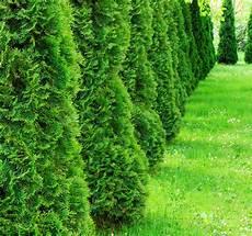Thuja Smaragd 187 Wissenswertes Zum Wachstum Dieser