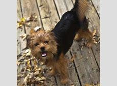 Affenshire (Affenpinscher X Yorkshire Terrier Mix) Info