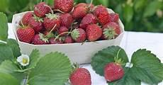 erdbeeren richtig pflanzen pflegen und ernten mein