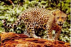 jaguar costa rica