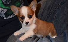 chihuahua mix welpen cheagle chiweenie chug 18 chihuahua mixes you ve