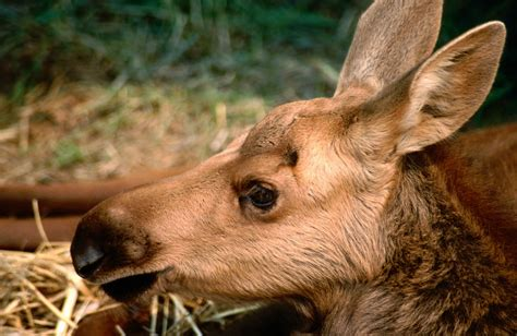 Lost Baby Moose Gets Ride In Rcmp Cruiser
