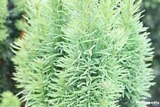 eibenhecke eibe taxus pflanzen pflege und schneiden